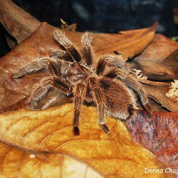 Tarantula by donnachapman