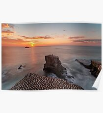 Sunset at Gannet Colony in Muriwai, New Zealand Poster