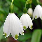 Snowdrops in Formation by Helmar Designs