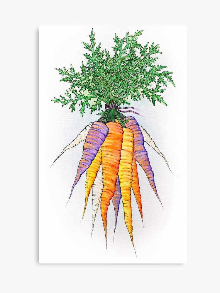 Purple And Orange Watercolor Carrot Bunch Drawing Canvas Print By