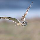Short-eared owl (Asio flammeus) by Stephen Liptrot
