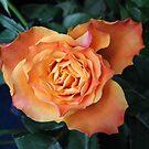 Soft and Gentle Rose von BlueMoonRose