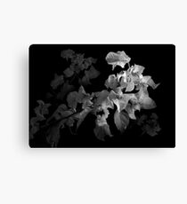 Emerging Bougainvillea In Black and White Canvas Print
