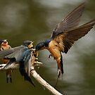 Swallows Feeding by Kenneth Haley