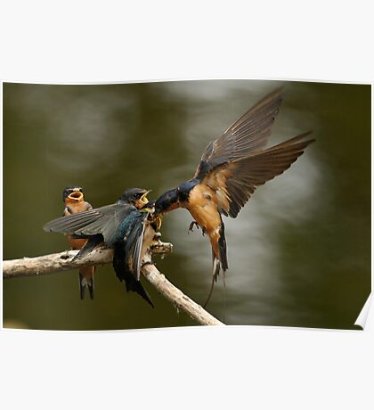 Swallows Feeding Poster