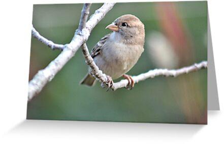 Sweet female house sparrow by Linda Crockett