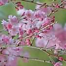Sakura Buds and Blossoms by Patty Lewis