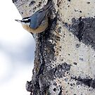 Nuthatch Acrobatics by A.M. Ruttle