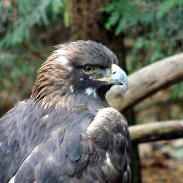 PNW Raptor - Golden Eagle by tkrosevear