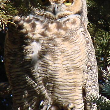 PNW Raptor - Great Horned Owl2 by tkrosevear