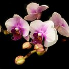 My first orchid photo by bubblehex08
