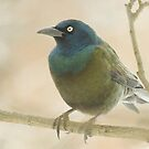 Common Grackle  by lorilee