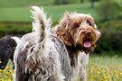 Brown Roan Italian Spinone Dog Looking Back by heidiannemorris