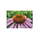 Purple Cone Flower by Sharon A. Henson