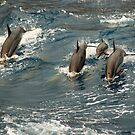 spinner dolphins by swimchk512
