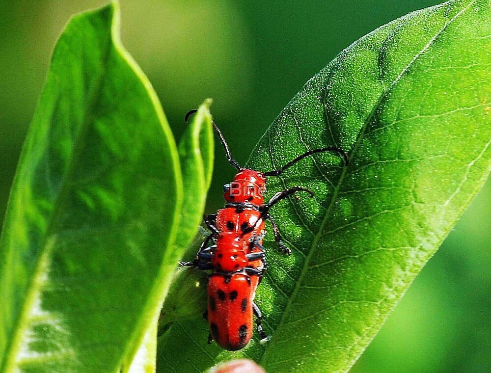 Red on Green by Bine