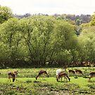 Deer at Bolderwood by RedHillDigital