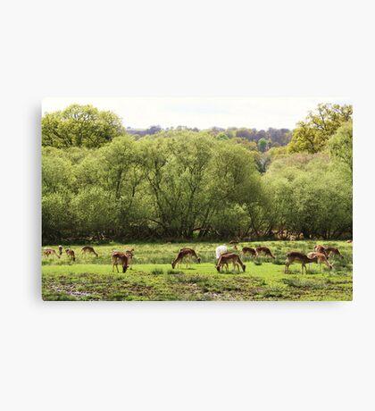 Deer at Bolderwood Canvas Print