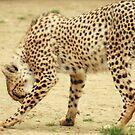 Female Cheetah Grooming by Franco De Luca Calce