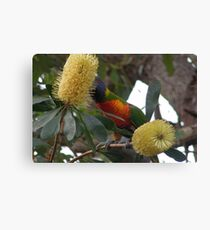 Rainbow in the Bottlebrush Canvas Print