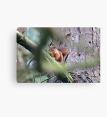 Red Squirrel on a branch near Formby Canvas Print