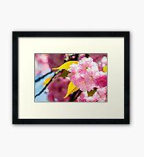 Sakura flower blossom in springtime Framed Print