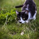 Cat Photo  2 - Sigrun by Frost Foto