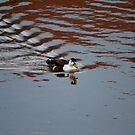 Unknown Duck by dougie1