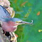 Lucky the Green Heron by Jeff Ore