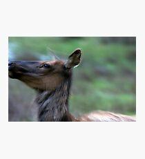 Elk Cow Alarmed Photographic Print
