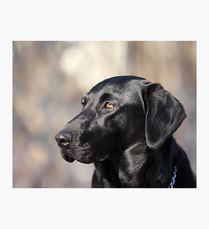 My Dog, Emma is a Black Lab. Photographic Print