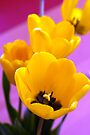 Yellow Tulips by ionclad