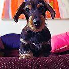 Wienerdog Stare by ionclad