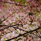 Cherry Tree by Taylor T