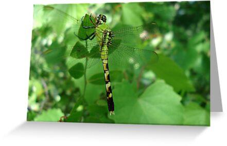 Pondhawk - Dragonfly by May Lattanzio
