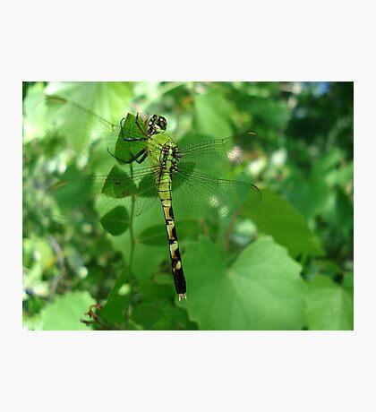 Pondhawk - Dragonfly Photographic Print