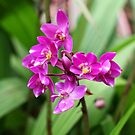 Singapore orchid - national flower by Jan Stead JEMproductions