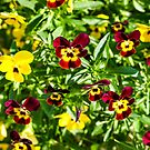 Miniature Pansies by quackersnaps
