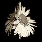 Sepia daisy by mausue