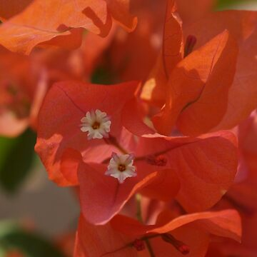 Orange Bougainvillea #flower #original #photo #new #unique by aariv
