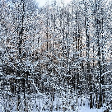 Snowy branches of trees. by GermanS