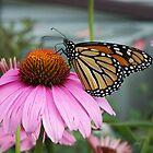Monarch Butterfly by coribeth