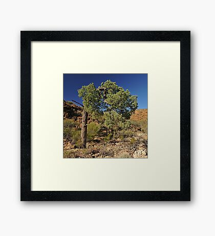Desert Pine in Australian Outback Framed Print