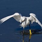 Snowy Egret on the Attack by TJ Baccari Photography