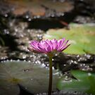 Water Lilly by Ian Fraser