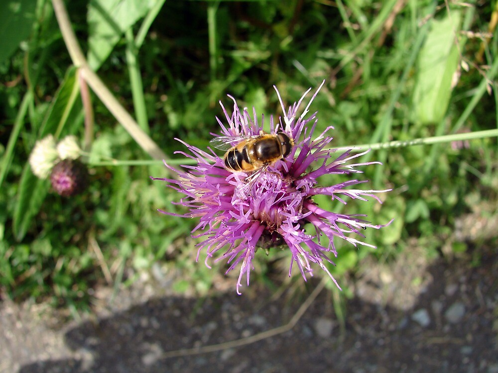 Bee on a Thistle Flower by svehex