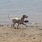 dalmatian beach by sharon wingard