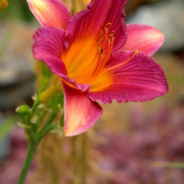 Day Lily by DianaG