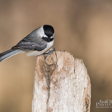 Black Capped Chickadee by nscphotography