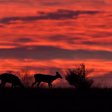 Deer at sunset by nscphotography